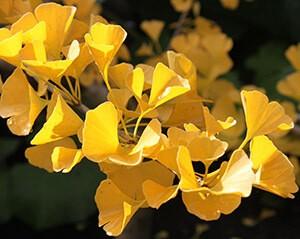 YellowGinkgo